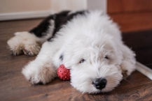 sheepdog-puppy