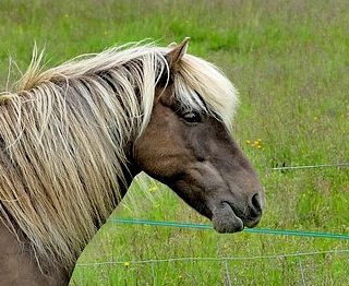 chocolate palomino pony for blog