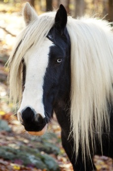 gypsy horse for blog