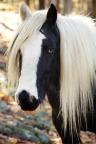 gypsy horse for blog
