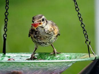 Backyard, including fledgling Downies 094