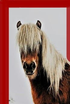 shaggy pony in barn