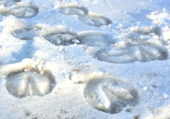 hoofprints in snow