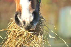Mystery munching hay
