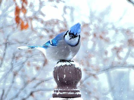 13 - Blue Jay