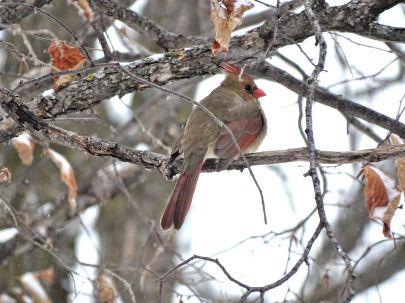 14 - Female Cardinal