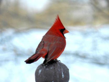 14a - Male Cardinal
