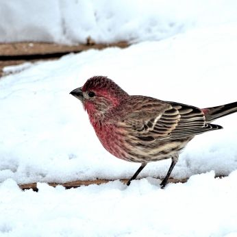 19 - Male House Finch