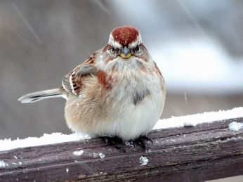 20 - American Tree Sparrow