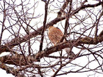 23 - Sharp-shinned Hawk