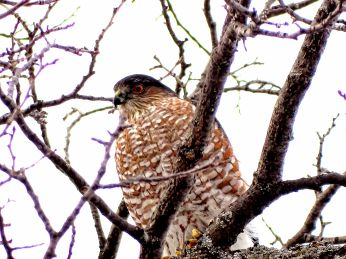 24 - Sharp-shinned Hawk