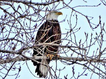 25 - Bald Eagle