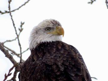 26 - Bald Eagle