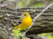 Baltimore Oriole 2
