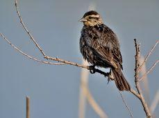 Female Red-winged Blackbird 2