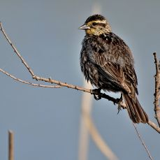 Female Red-winged Blackbird 2