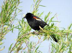 Male Red-winged Blackbird 2
