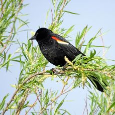 Male Red-winged Blackbird 2