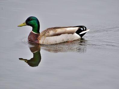 Mallard with reflection