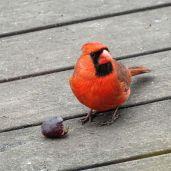 Northern Cardinal - male 1