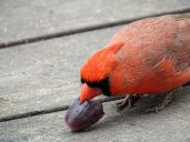 Northern Cardinal - male 2