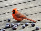 Northern Cardinal - male 3