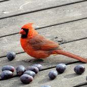 Northern Cardinal - male 3