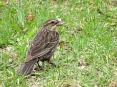 Red-winged Blackbird - female 2
