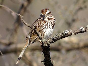 Song Sparrow 1