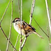 Swamp Sparrow 2