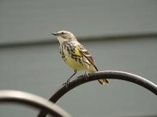 Yellow-rumped Warbler 5