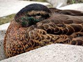 Duck (1)