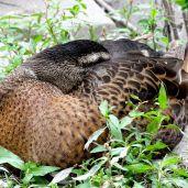 Duck (4)