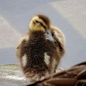 Mallard duckling sleeping