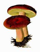 poison mushroom 2