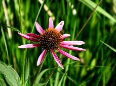 Purple Coneflower (1)