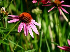 Purple Coneflower (2)