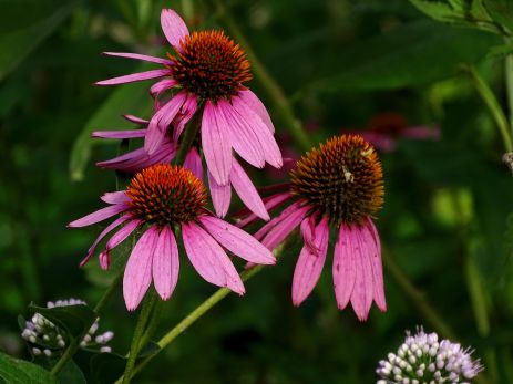 Purple Coneflower (3)