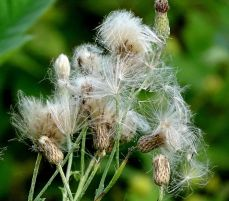 Thistle gone to seed (1)