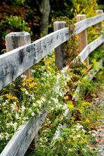 wildflowers along the fence