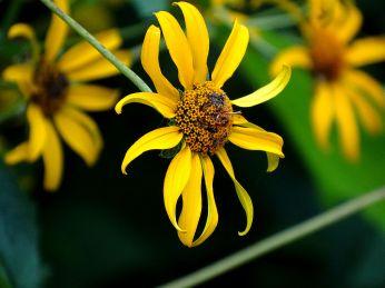 Woodland Sunflower2