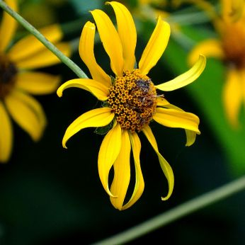 Woodland Sunflower2