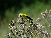 Bird - American Goldfinch 2