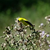 Bird - American Goldfinch 2