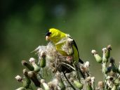 Bird - American Goldfinch 3