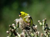 Bird - American Goldfinch 3