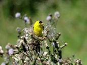 Bird - American Goldfinch 4