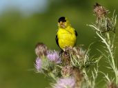 Bird - American Goldfinch