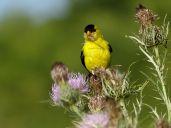 Bird - American Goldfinch