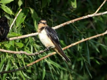 Bird - Barn Swallow